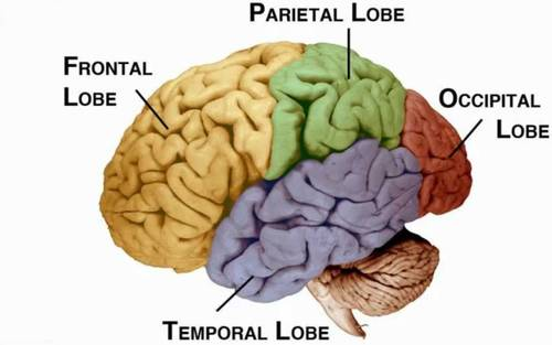 lobes of the brain and what they are responsible for brain's lobes