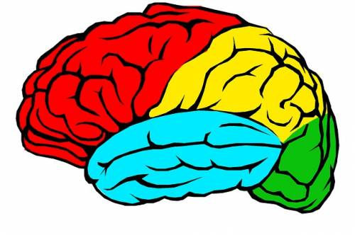 Colored human brain lobes