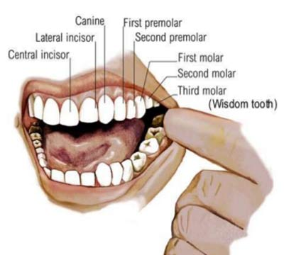 dental formula anatomy