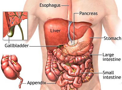 Organs in lower right abdomen (image)