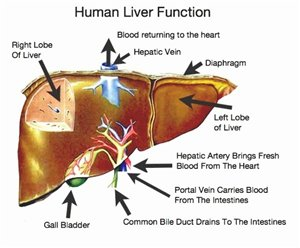 a liver function test