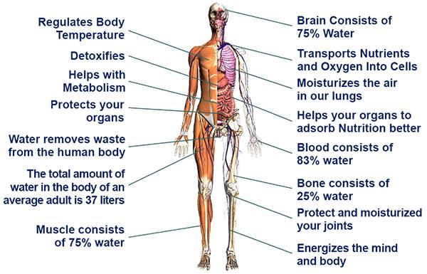 Water and its function in the human body