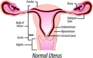 normal size of uterus
