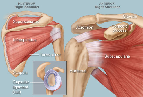RIght Shoulder Human Anatomy