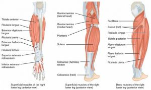 lower leg anatomy muscles