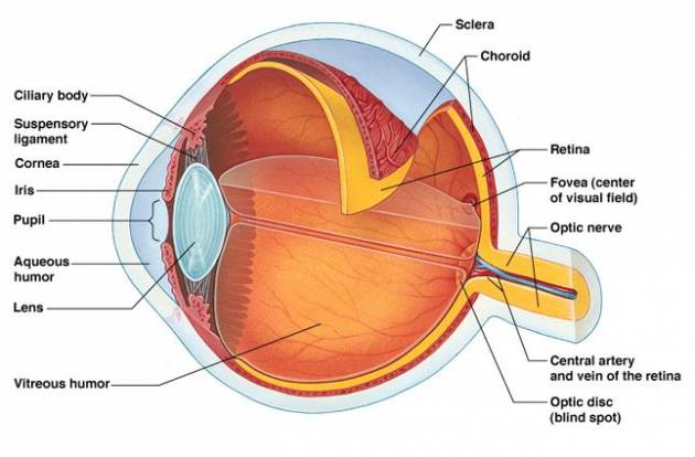 Parts of the eye and their functions iytmed parts of the eye and their functions ccuart Choice Image