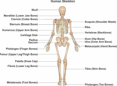 functions of the skeletal system | iytmed, Skeleton