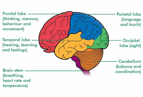 Brain Lobes and their Functions