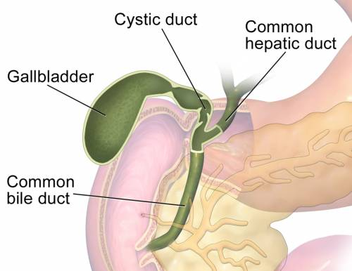 Gallbladder function in human body iytmed gallbladder function in human body ccuart Image collections