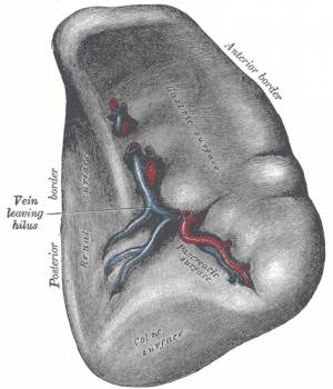 Spleen Function in Human Body