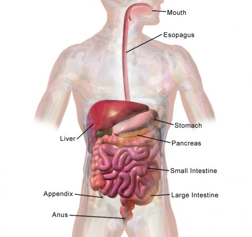 Order of the Digestive System From Mouth to Anus