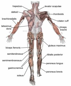 illnesses of the muscular system