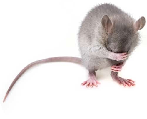 Early treatment has excellent result. If rat-bite fever is not treated, the death rate can be as high as 25%.