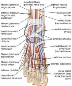 diagram of nerves in foot and ankle.